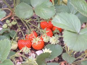 Erdbeere 086