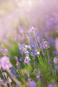 Blurring background lavender sunset. Crimean beauty at sunset.