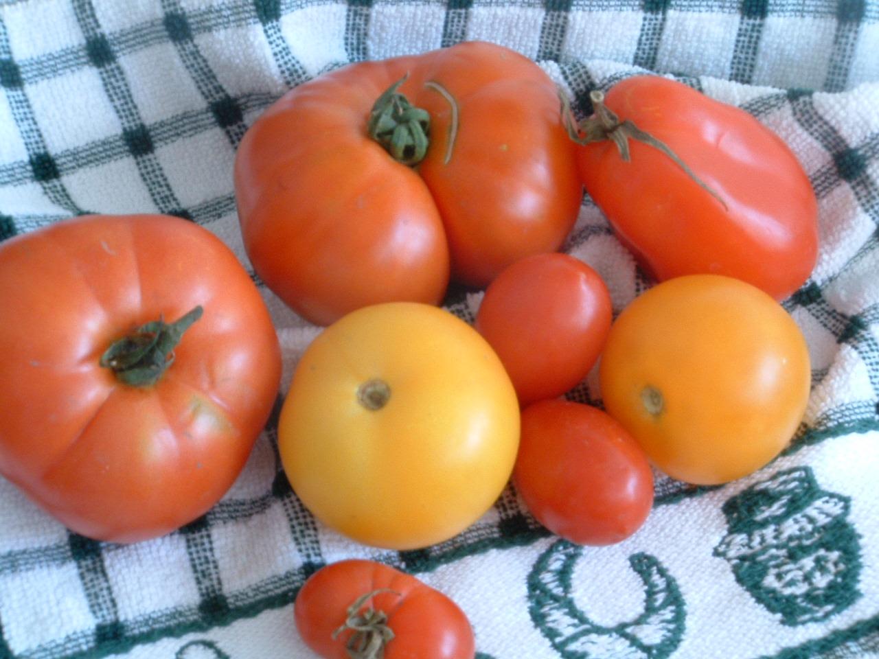 Tomaten in Hülle & Fülle